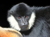 Portrait of a male White Cheeked Gibbon. Nomascus leucogenys on black background stock photos