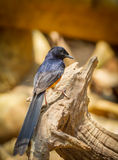 Portrait of Male White-rumped shama. (Copsychus malabaricus) on the wood Royalty Free Stock Images