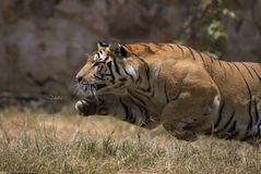 Portrait of male wild tiger Royalty Free Stock Photos