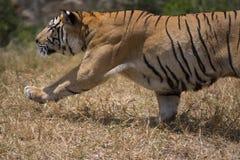 Portrait of male wild tiger. Iun action Stock Photos
