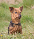 Portrait of a male Yorkshire Terrier cross Breed. Sitting in the park, Northern England Stock Photography