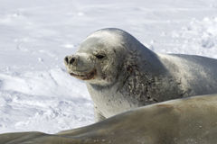 Portrait of a malecrabeater seal lying in the snow near the fema Royalty Free Stock Photography