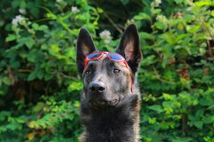 Portrait of a Malinois Belgian sheepdog wearing glasses. Portrait of a Malinois Belgian sheepdog wearing red glasses Royalty Free Stock Image
