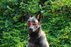 Portrait of a Malinois Belgian sheepdog wearing glasses. Portrait of a Malinois Belgian sheepdog wearing red glasses Stock Photography