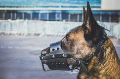 Portrait of a Malinois Belgian Shepherd breed dog with a leather mussel guarding for safety. A portrait of a Malinois Belgian Shepherd breed dog with a leather Stock Photos