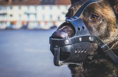 Portrait of a Malinois Belgian Shepherd breed dog with a leather mussel guarding for safety. A portrait of a Malinois Belgian Shepherd breed dog with a leather Stock Photography