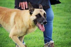 A portrait of the Malinois Belgian Shepherd dog walking on foot Stock Image