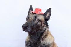 Portrait of a Malinois Belgian shepherd wearing a red hat between the ears. A portrait of a Malinois Belgian shepherd wearing a red hat between the ears Stock Photos