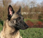 Portrait of a malinois dog. In a park Royalty Free Stock Photos