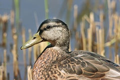 Portrait of a Mallard duck (Anas platyrhynchos). A portrait of a Mallard duck (Anas platyrhynchos) resting beside reeds at the water's edge Royalty Free Stock Photography