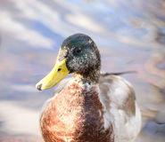Portrait of Mallard Duck close up. Portrait of male Mallard Duck close up Royalty Free Stock Photos