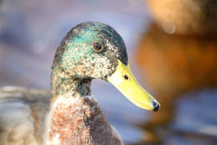 Portrait of Mallard Duck close up. Royalty Free Stock Photo