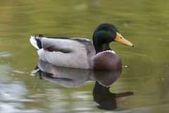 Portrait of a mallard duck closeup. Portrait of a mallard duck close up swimming in water Royalty Free Stock Image