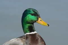 Portrait of Mallard duck drake Royalty Free Stock Photo