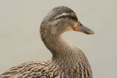 Portrait of Mallard duck hen. Portrait of female Mallard duck hen against lake water Royalty Free Stock Photography