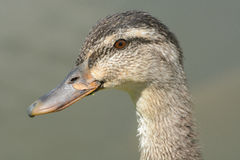 Portrait of Mallard duck hen. With leaf on bill by side of lake Stock Images