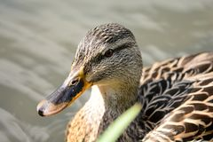 Mallard duck swimming. Portrait of a mallard duck swimming in the water Stock Image