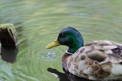 Portrait of mallard duck in a water. This photo was taken in `Planten un Blomen` public garden in Hamburg, Germany royalty free stock image