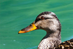 Portrait of a Mallard Hen. Close-up portrait-style shot of a female mallard duck, or hen, swimming in a lake in Virginia. Eye is clearly red in color Royalty Free Stock Photo