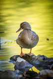 Portrait of mallard on rocks. A mallard duck stands on small rocks by a pond at Cannon Hill Park in Spokane, Washington Stock Photo