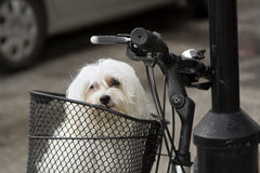 Portrait of maltese in black metal bicycle basket. Close up, portrait of small white domestic dog, breed maltese, siting in metal basket on black bicycle parked Stock Images
