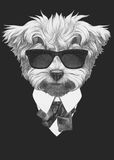 Portrait of Maltese Poodle in suit. Stock Photo