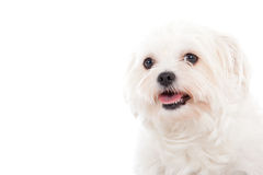 Portrait of a Maltezer. Happy dog photographed in the studio on a white background stock images