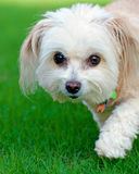 Portrait of maltipoo dog. Running in field Stock Photo