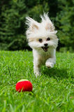 Portrait of maltipoo dog playing with ball. In field Royalty Free Stock Photos