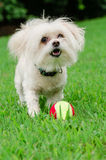 Portrait of maltipoo dog playing with ball. In field Royalty Free Stock Photography