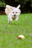 Portrait of maltipoo dog playing with ball. In field Stock Images