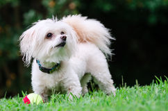 Portrait of maltipoo dog playing with ball. In field Royalty Free Stock Image