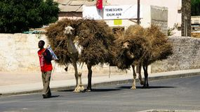 Portrait of man with camel transporting hay and firewood, Keren, Eritrea Stock Photography