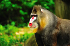 Portrait of a mandrill Royalty Free Stock Image