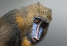 Portrait of Mandrill, Mandrillus sphinx, primate of the Old World monkey  family stock photos