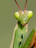 Portrait of a Mantis Stock Images