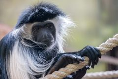 Portrait of Mantled guereza Colobus guereza with sad or pensive expression stock photos
