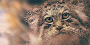Portrait manul cat, palla´s cat Stock Images