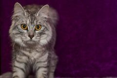 Manx cat. Portrait of a Manx cat Royalty Free Stock Photography