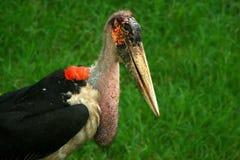 Portrait of marabou stork Stock Photography