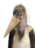 Portrait of Marabou Stork Stock Photos