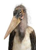 Portrait of Marabou Stork. Leptoptilos crumeniferus, 1 year old, in front of white background Stock Photos