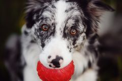 Portrait of marble border collie with a red ball stock photography