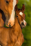 Portrait mare with colt stock photo