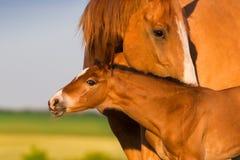 Portrait mare with colt Stock Photos