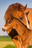 Portrait mare with colt Royalty Free Stock Images