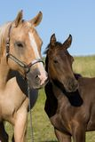 Portrait of mare with foal royalty free stock photography