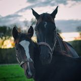 Portrait of mare and her foal Stock Photo