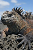 Portrait of the marine iguana. The Galapagos Islands. Pacific Ocean. Ecuador. Stock Photo