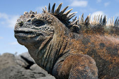 Portrait of the marine iguana. The Galapagos Islands. Pacific Ocean. Ecuador. Stock Images